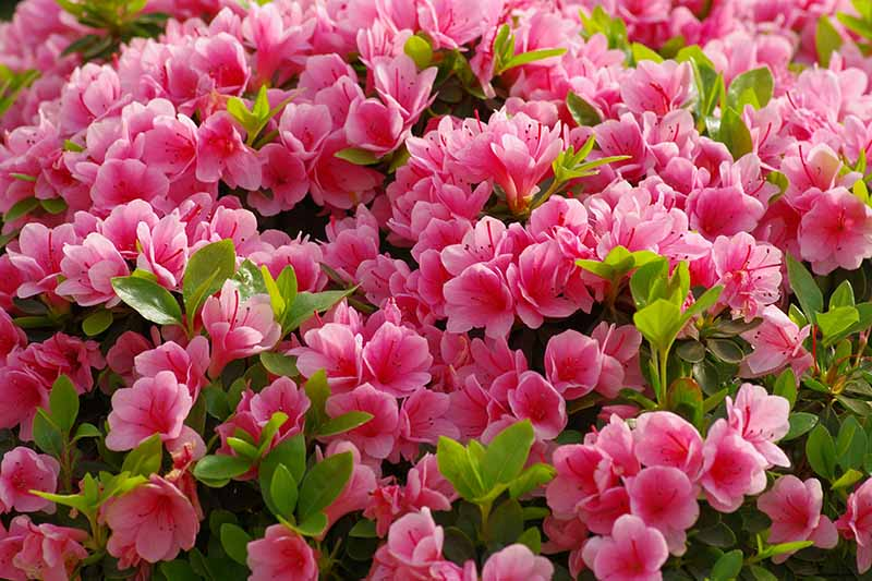 A close up horizontal image of bright pink azalea flowers growing in the garden pictured in light sunshine.