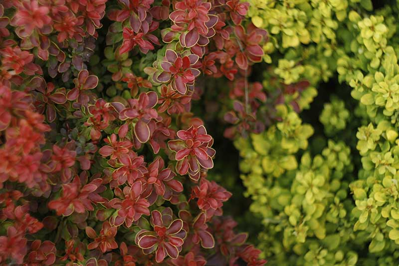 A close up horizontal image of different colored barberry shrubs growing in the garden. The one on the left has burgundy foliage and on the right, light green.