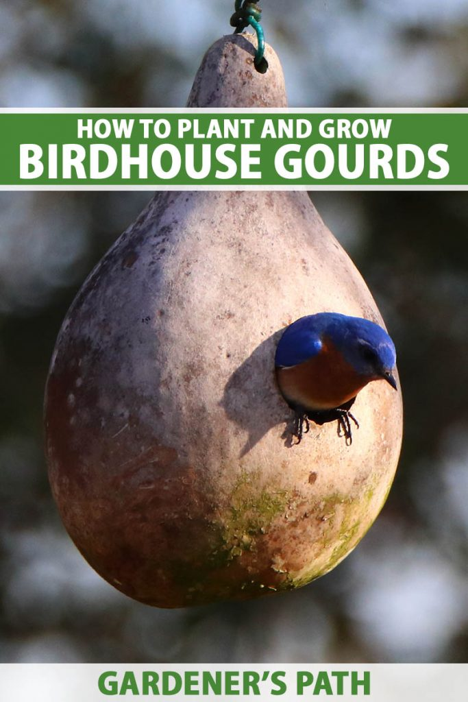 A close up vertical image of a hardshell gourd that has been carved into a birdhouse pictured on a soft focus background. To the top and bottom of the frame is green and white printed text.