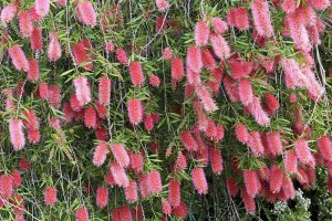 How to Grow and Care for Bottlebrush Plants