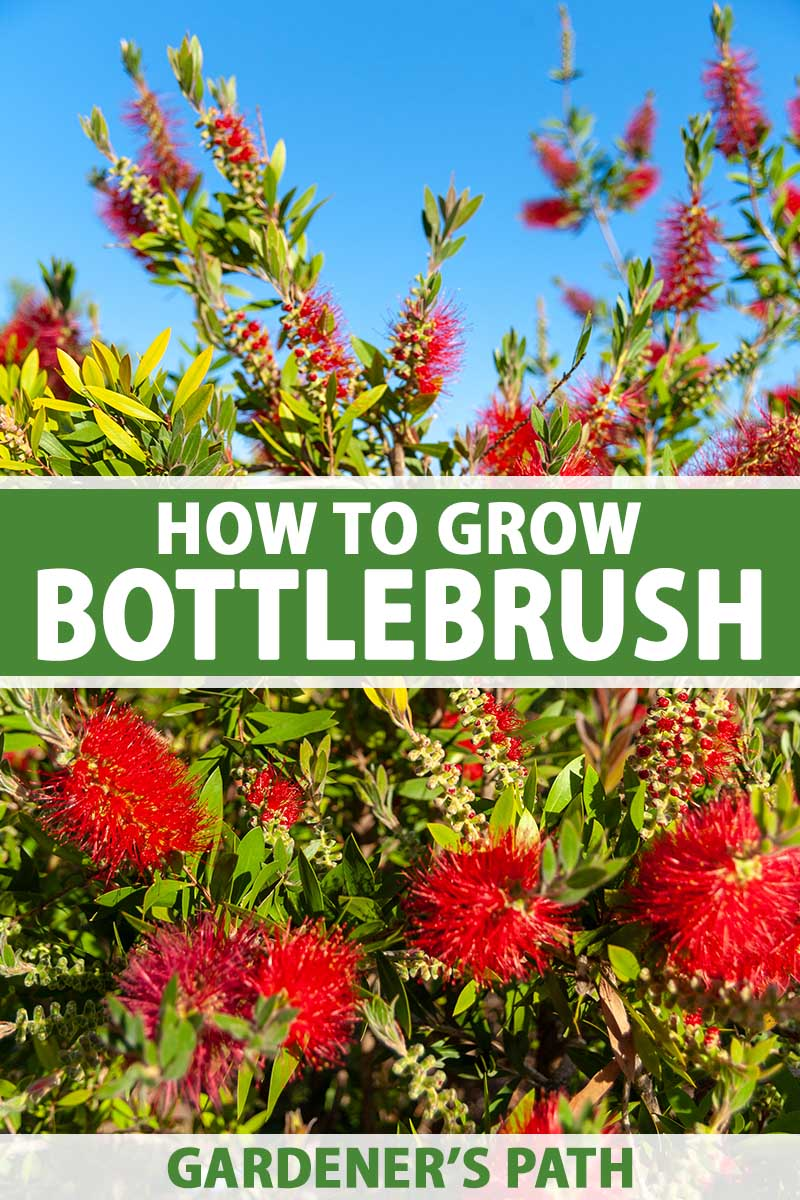 A close up vertical image of a large bottlebrush shrub with bright red flowers growing in the garden pictured on a blue sky background.