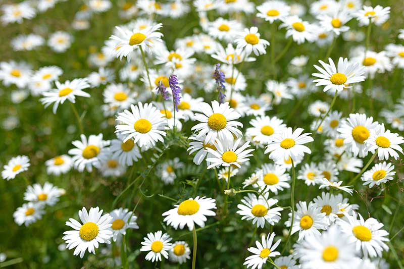 A close up horizontal image of white and yellow daisy like flowers growing in the garden fading to soft focus in the background.
