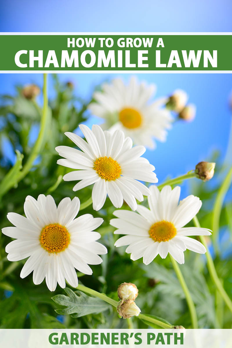 A close up vertical image of pretty white and yellow daisy-like flowers pictured in bright sunshine on a blue sky background. To the top and bottom of the frame is green and white printed text.
