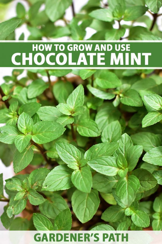 A close up vertical image of a Mentha plant growing in a pot pictured on a soft focus background. To the top and bottom of the frame is green and white printed text.