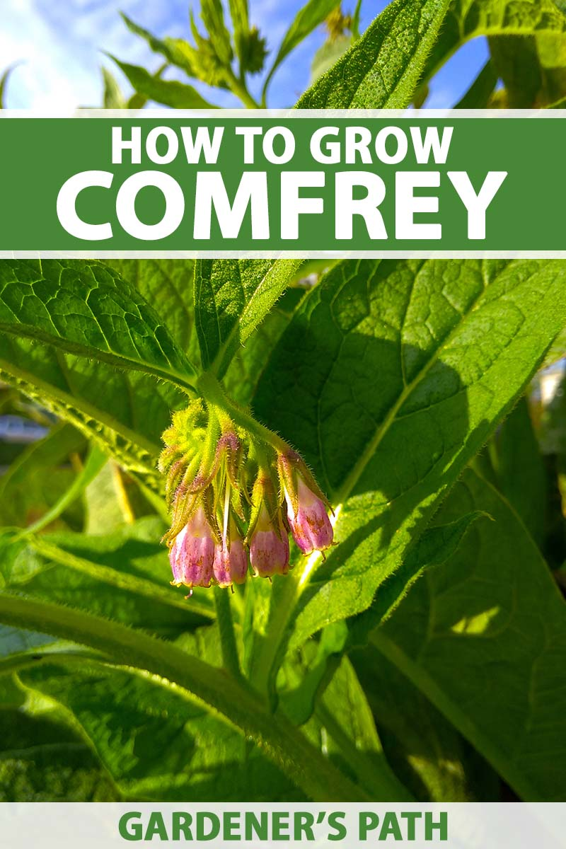 A close up vertical image of comfrey growing in the garden with wide, green leaves, and a bright pink flower, pictured in bright sunshine on a blue sky background. To the top and bottom of the frame is green and white printed text.