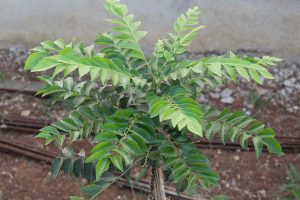 How to Grow Your Own Curry Leaf Tree