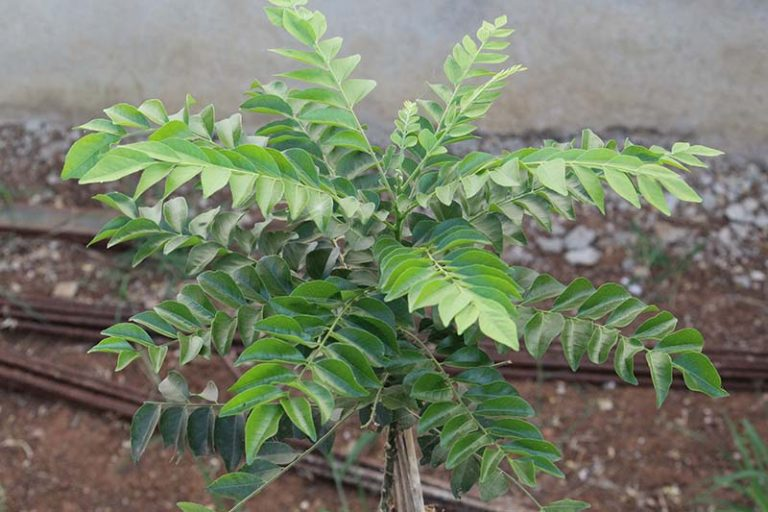 A close up horizontal image of a curry leaf tree growing in a pot outdoors.