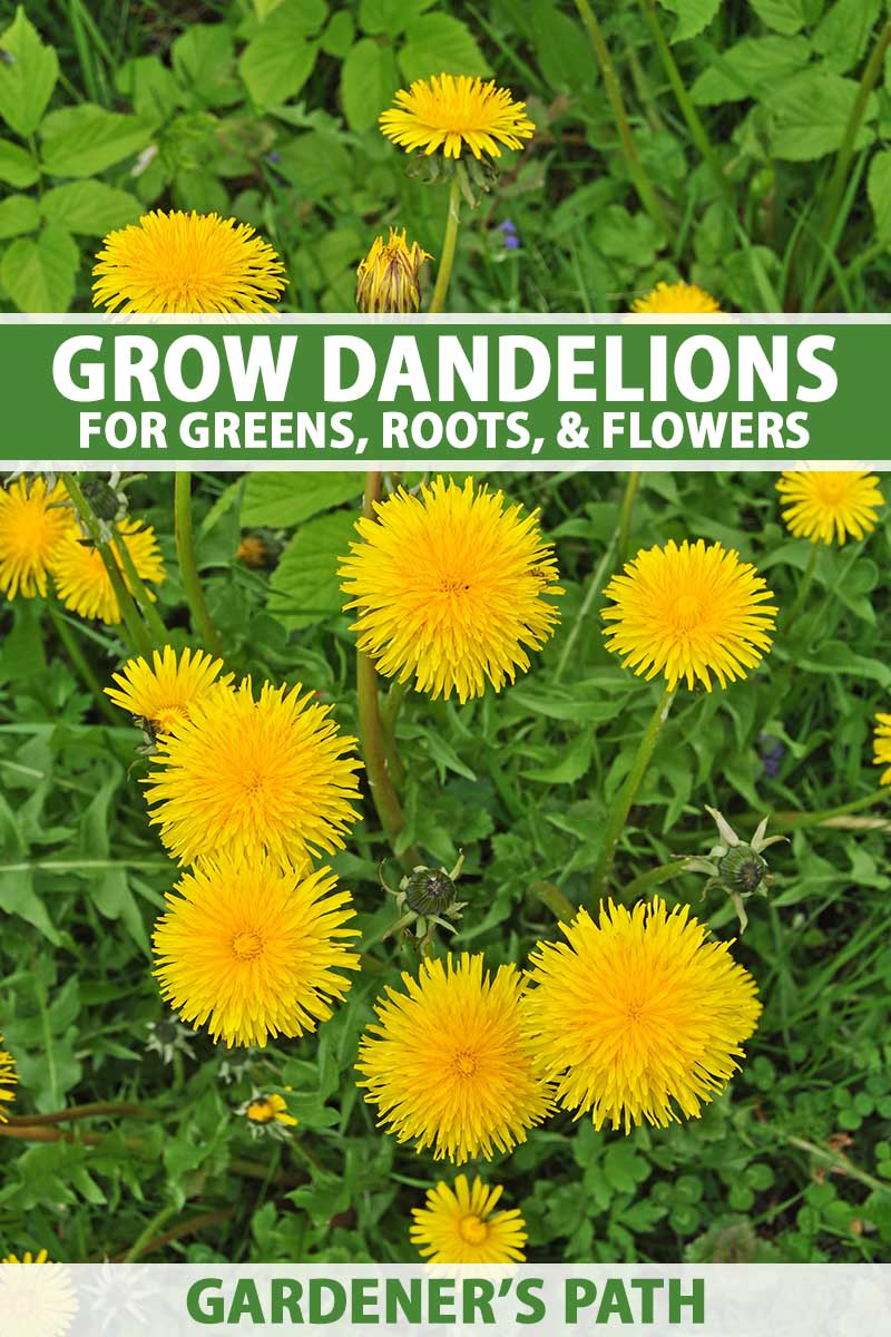 A close up vertical image of bright yellow dandelion (Taraxacum officinale ) flowers growing in the garden. To the top and bottom of the frame is green and white printed text.