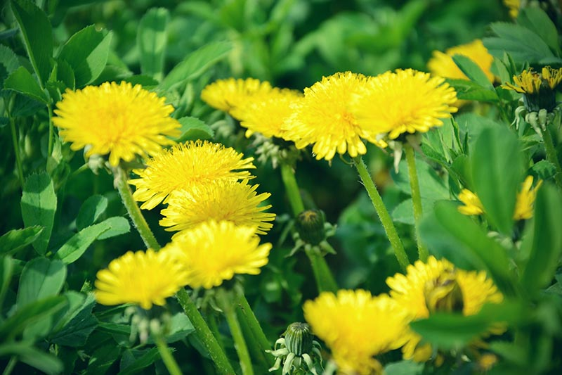 A close up horizontal image of the bright yellow flowers of Taraxacum officinale growing in the garden to harvest for leaves and blossoms.
