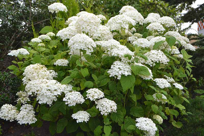 A close up horizontal image of the white flowers of Hydrangea arborescens growing in the garden pictured on a soft focus background.