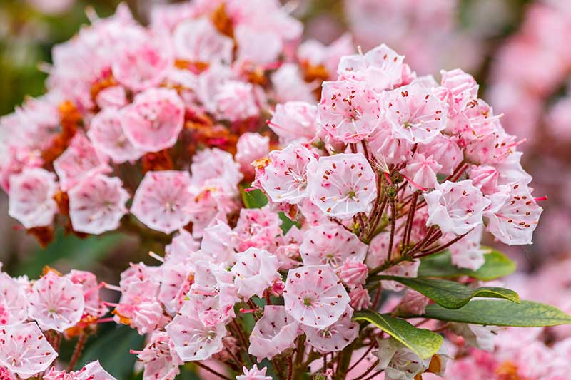 A close up horizontal image of pink and white Kalmia latifolia flowers pictured on a soft focus background.