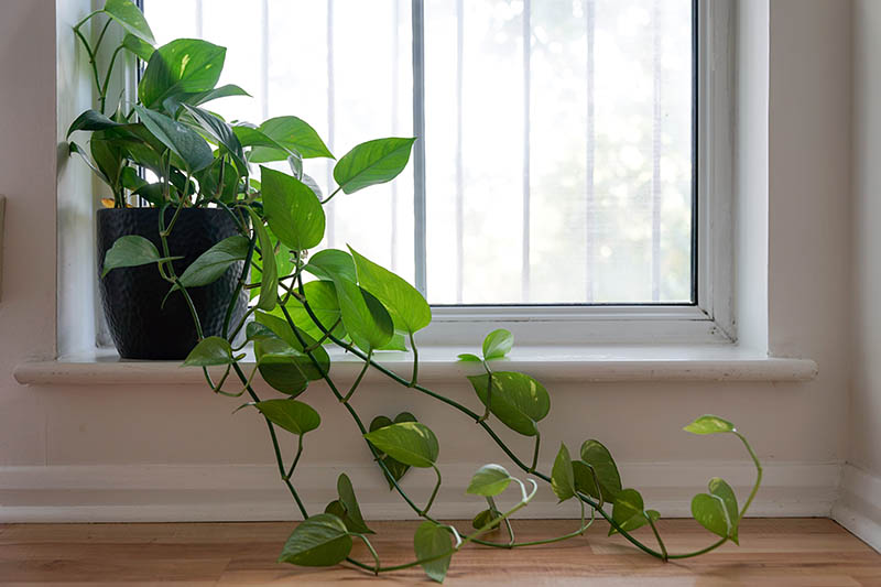 A close up horizontal image of a heartleaf philodendron growing in a small pot on a windowsill with vines trailing along the floor.