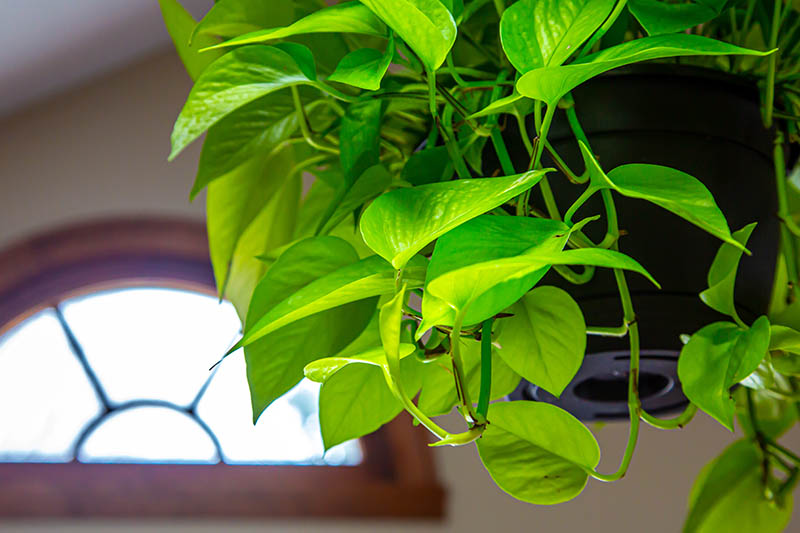 A close up horizontal image of a pothos plant growing in a hanging container, with its leaves spilling over the edge, in the hallway of a residence.