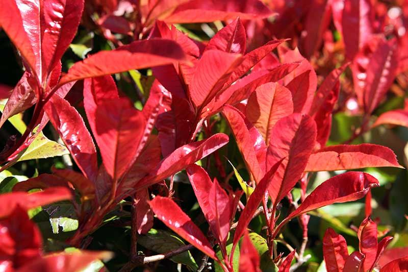 A close up horizontal image of the bright red foliage of P. x fraseri growing in sunshine.