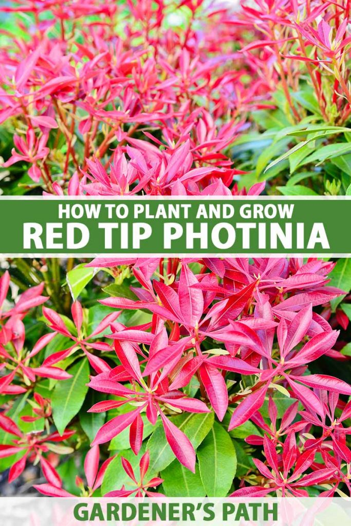 A close up vertical image of the red and green foliage of red tip photinia growing in the garden. To the center and bottom of the frame is green and white printed text.
