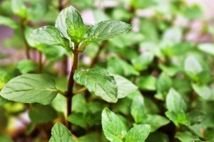 How to Grow and Use Chocolate Mint