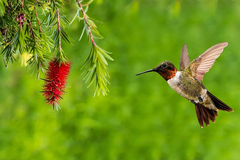 A close up horizontal image of a hummingbird flying close to a red flower, pictured on a green soft focus background.