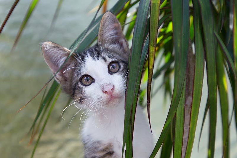 A close up horizontal image of a small moggie sitting behind a houseplant pictured on a soft focus background.