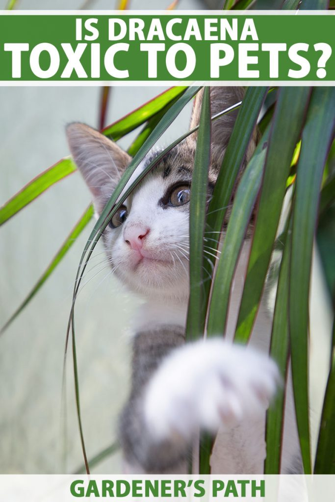 A close up vertical image of a small cat playing behind a dracaena houseplant pictured on a soft focus background. To the top and bottom of the frame is green and white printed text.