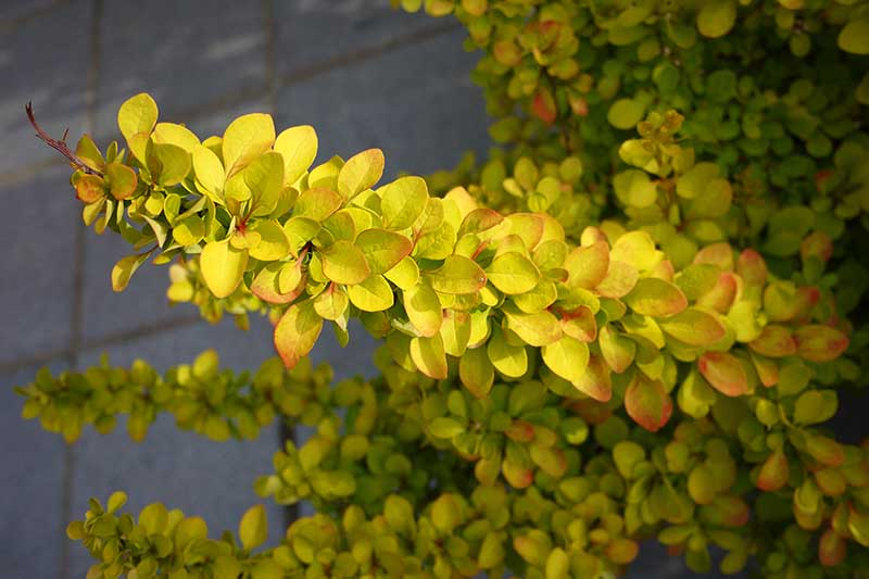 A close up horizontal image of the light green leaves of a Japanese barberry shrub pictured in light filtered sunshine.