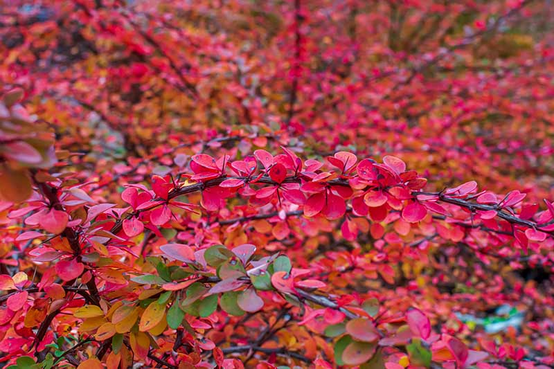 A close up horizontal image of the bright red foliage of a Japanese barberry shrub growing in the garden.