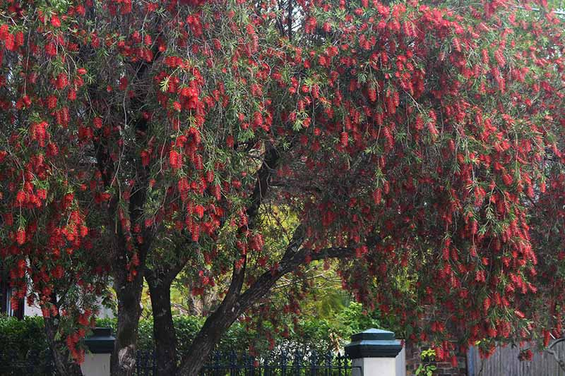 A close up horizontal image of a large bottlebrush tree growing in an Australian garden filled with bright red flowers.