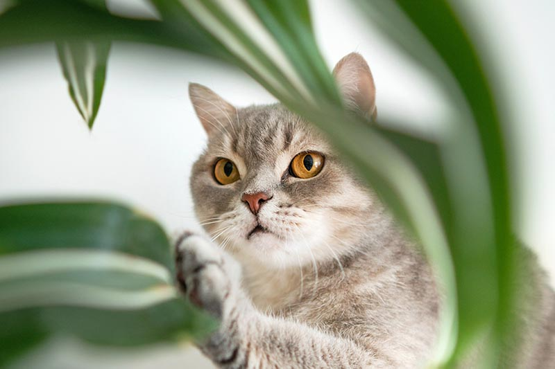 A close up horizontal image of a large gray cat playing with a houseplant pictured on a soft focus background.