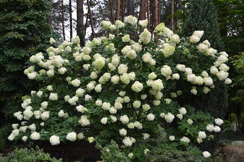 A horizontal image of a large H. arborescens shrub growing at the edge of a forest with trees in soft focus in the background.