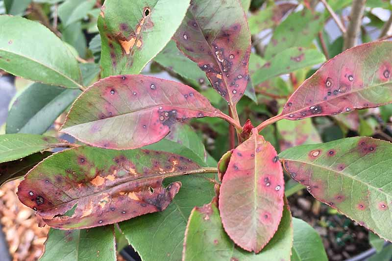 A close up horizontal image of a P. x fraseri shrub displaying symptoms of leaf spot.