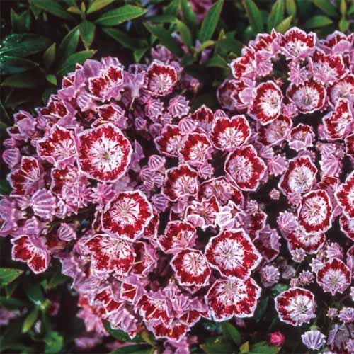 A close up square image of the pink, red, and white flowers of Kalmia latifolia 'Minuet' pictured on a soft focus background.