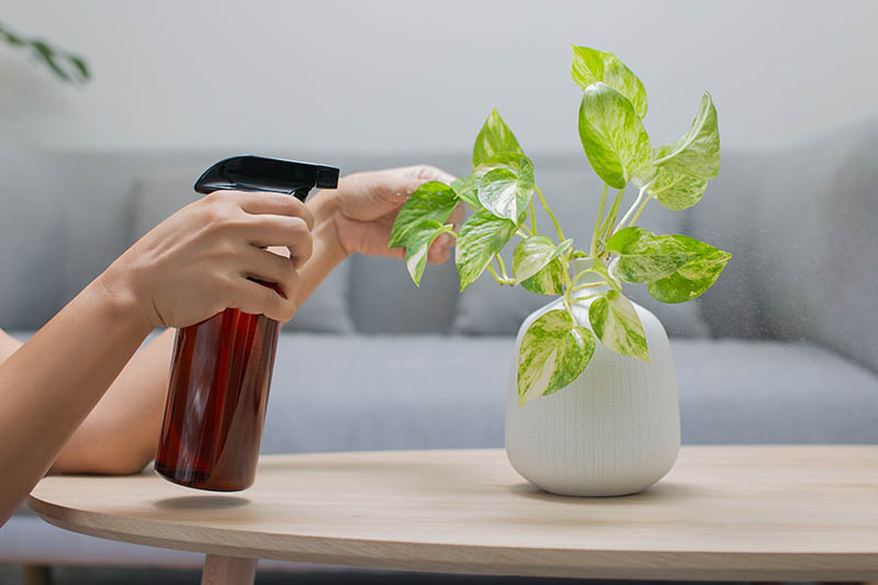 A close up horizontal image of a hand from the left of the frame spraying the foliage of a pothos houseplant growing in a small white pot set on a wooden surface.