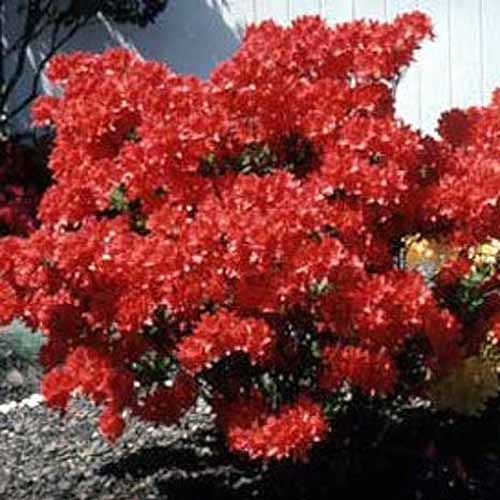 A close up square image of a red Mollis azalea growing in a flower bed outside a white residence.