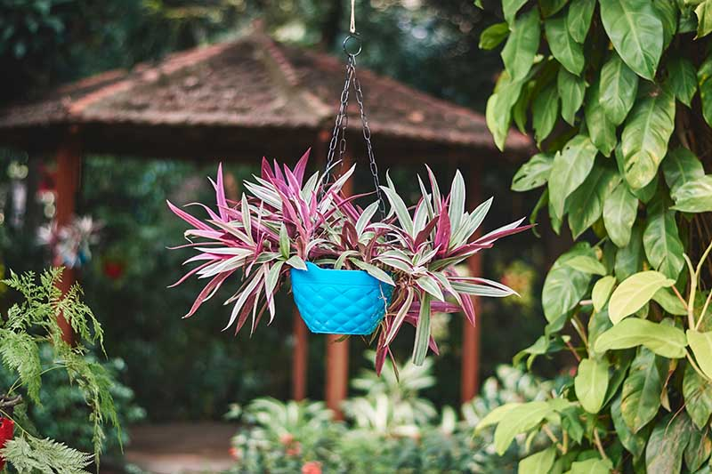 A horizontal image of a spiderwort plant growing in a small blue hanging basket with a pergola and garden scene in soft focus in the background.