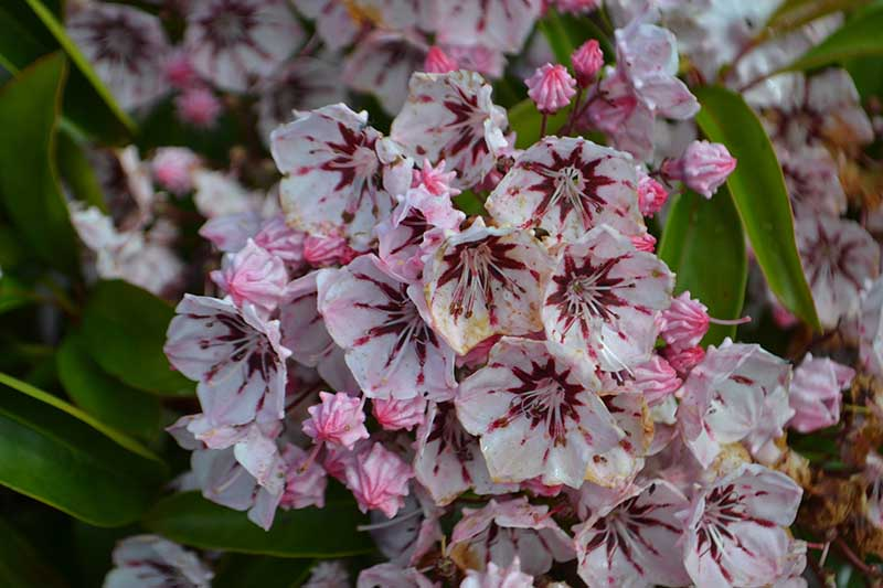 A close up horizontal image of the blossoms of Kalmia latifolia 'Peppermint' growing in the garden pictured on a soft focus background.