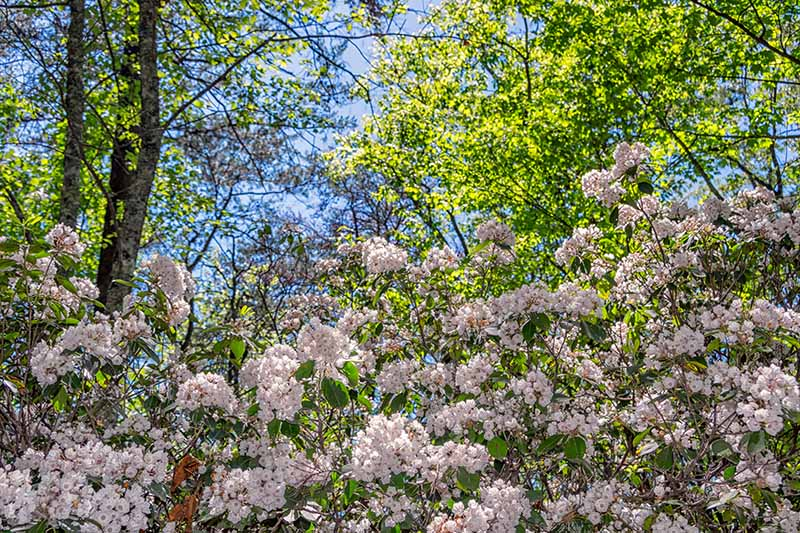A horizontal image of blooming Kalmia latifolia with trees and blue sky in the background.