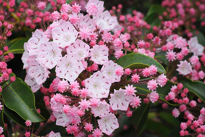 A horizontal image of pale pink Kalmia latifolia blossoms close up pictured on a soft focus background.