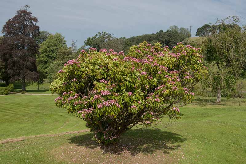 A horizontal image of a summer blooming Kalmia latifolia shrub growing in a botanical garden with shrubs and trees in soft focus in the background.