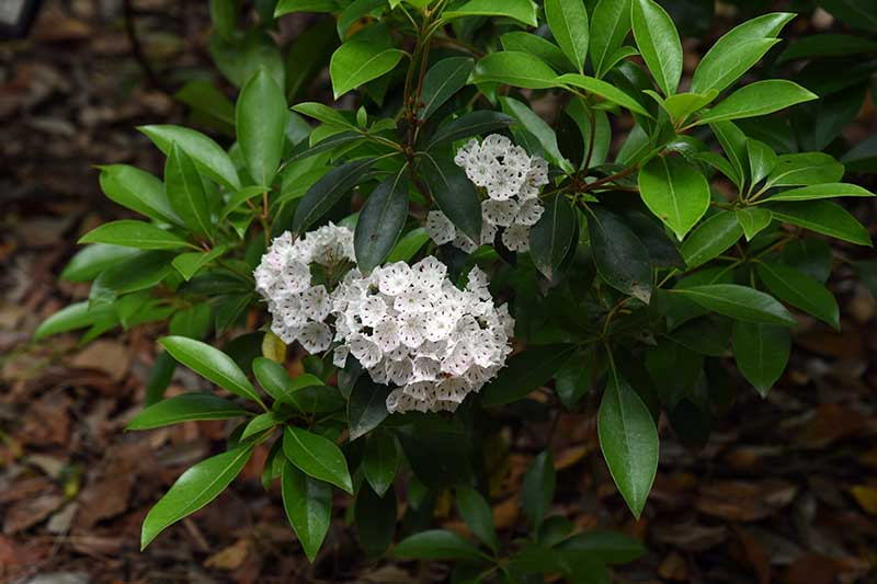 A close up horizontal image of a small Kalmia latifolia shrub with white flowers growing in the garden.