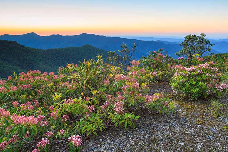 A horizontal image of clusters of Kalmia latifolia growing in the Blue Ridge mountains pictured at sunset.