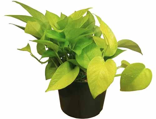 A close up square image of a golden pothos plant in a black container pictured on a white background.