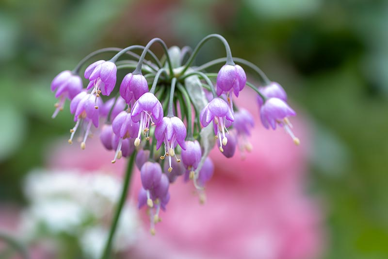 A close up horizontal image of a nodding onion (Allium cernuum) growing in the garden pictured on a soft focus background.