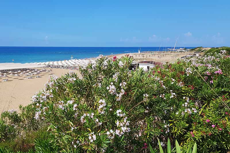 A horizontal image of a coastal scene with oleander shrubs growing in the foreground and a beach, sea, and blue sky in the background.