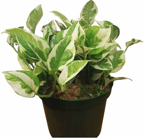 A close up square image of a small variegated pothos plant 'Pearls and Jade' growing in a black pot pictured on a white background.