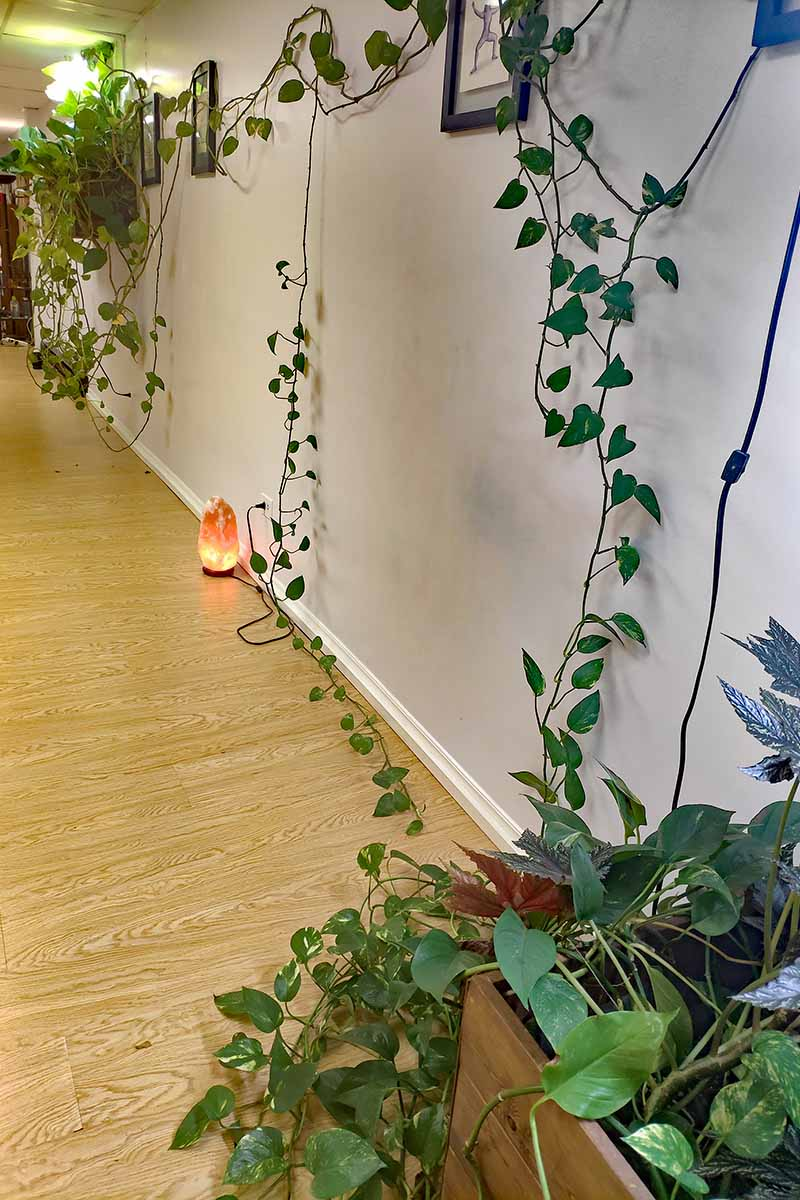 A vertical image of large philodendron plants growing up and along a wall in a residential hallway with a salt lamp in the background.