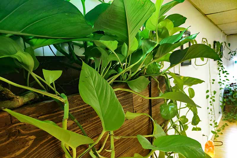 A close up horizontal image of a wooden planter with houseplants spilling over the side.