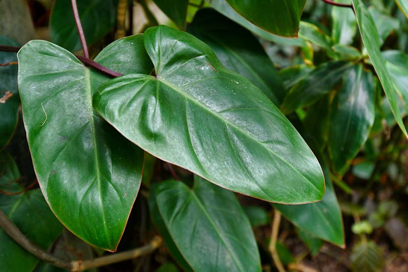 A close up horizontal image of Philodendron erubescens 'Red Emerald' growing in the garden pictured on a soft focus background.