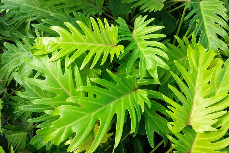 A close up horizontal image of a foliage plant growing in the garden with light green leaves.
