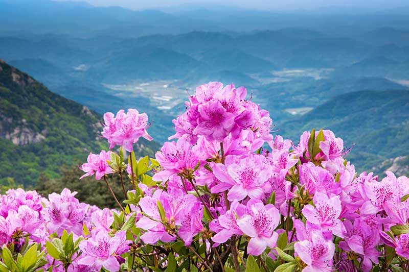 A horizontal image of a pink flowering azalea growing on the side of a mountain with a view into the valley in the background.
