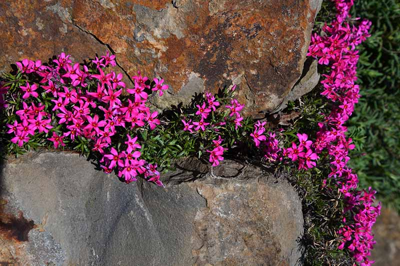 A close up horizontal image of pink Gypsophila repens growing on a rock.