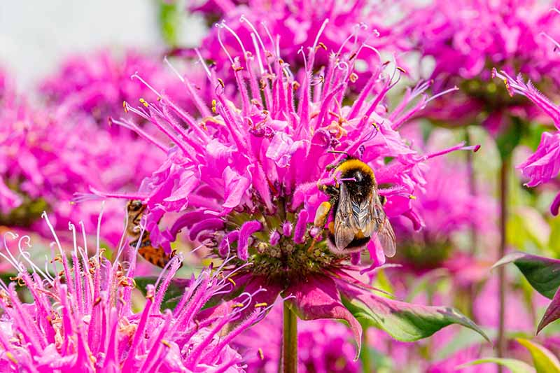 A close up horizontal image of pink flowers with bees feeding on them pictured in bright sunshine.